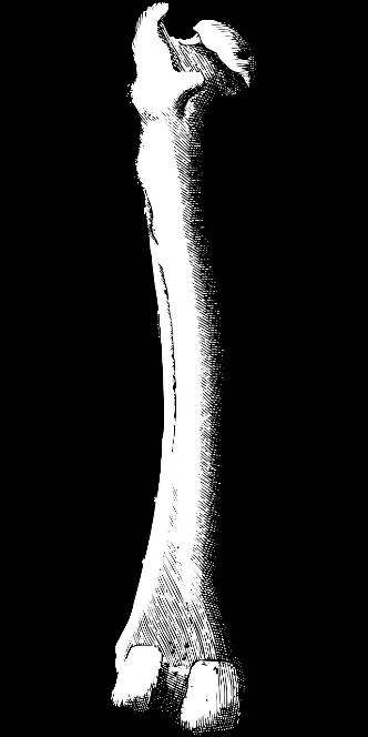 osso-femur