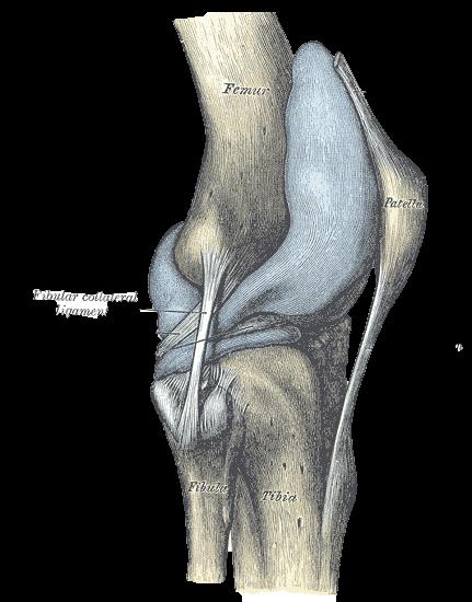 ligamento-colateral-fibular